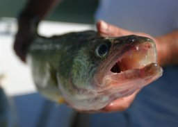 Continue reading: County, Curve Lake to study Chemong Lake walleye population