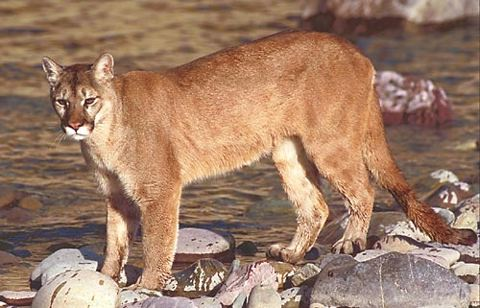 York said they may never know why the cougar attacked because sometimes cougars look at people as if they're prey.