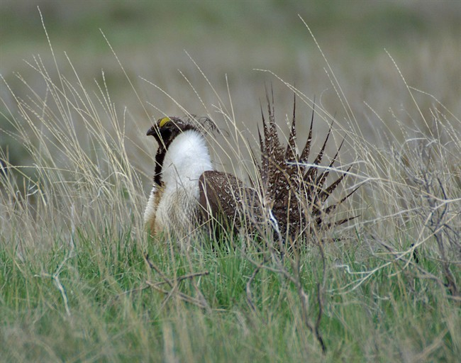 The federal government has revealed how it plans to protect an iconic prairie bird on the brink of vanishing from the grasslands.
