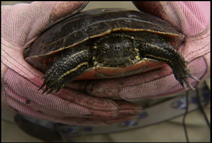 UBC-Okanagan researcher tracking down the Western Painted Turtle - image