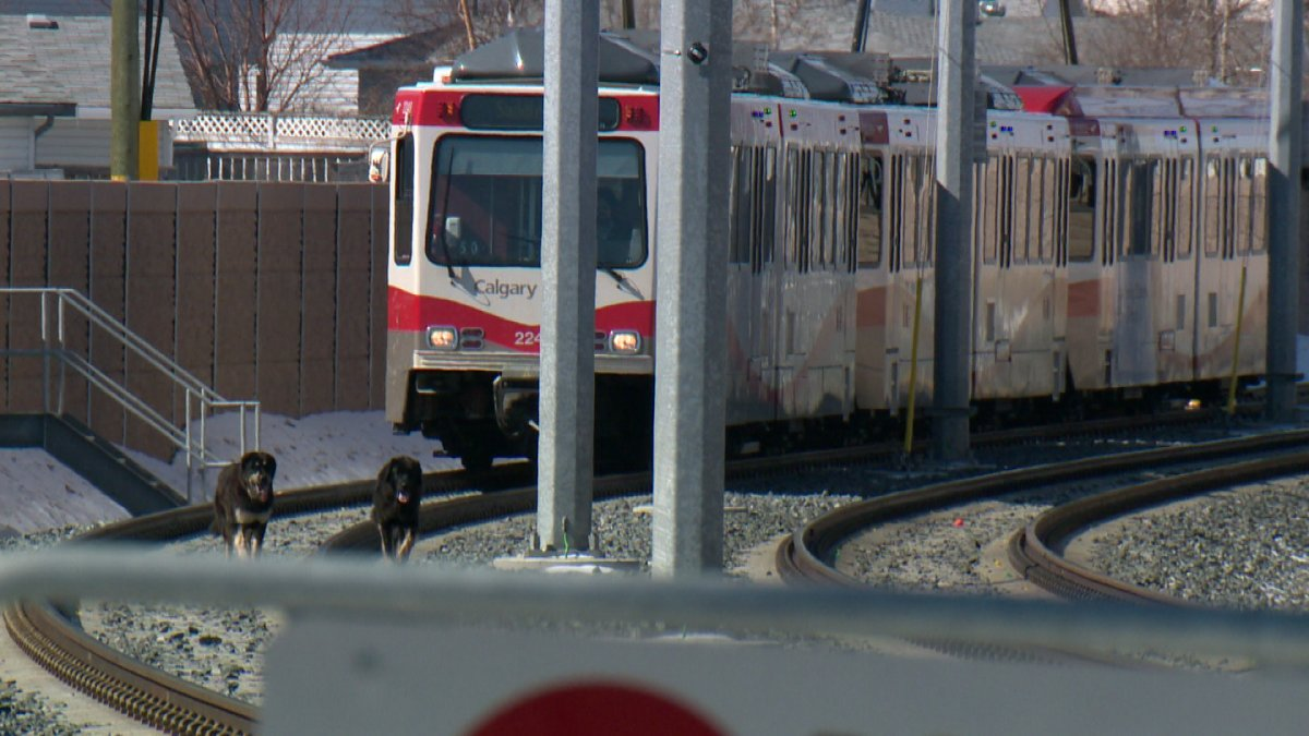 Two dogs wander around CTrain tracks in Martindale.
