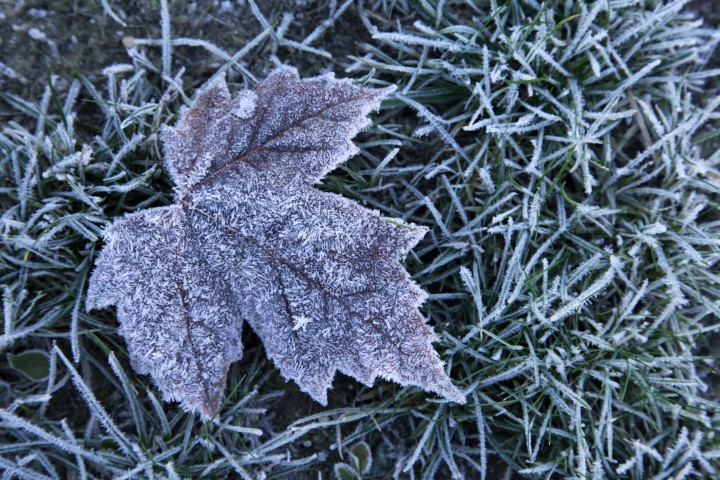 A frosty leaf in grass.