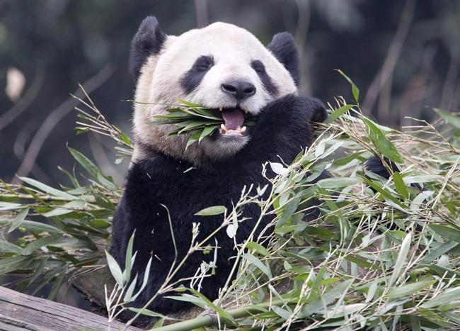 Female panda Er Shun eats bamboo at the Panda House at the Chongqing Zoo in Chongqing, China.