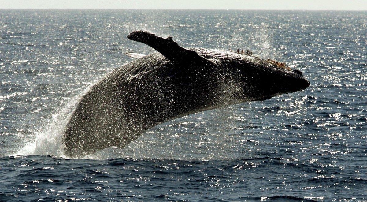 A humpback whale breeches .