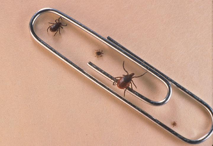 Lyme disease, spread by disease-carrying ticks, is becoming more common in Manitoba.