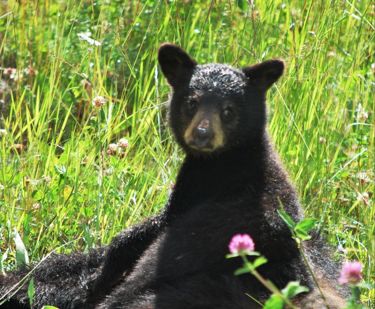 A black bear cub is seen in this file photo.