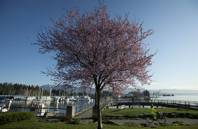 A woman rides her bike past a blooming cherry blossom tree along the seawall in downtown Vancouver, B.C. THE CANADIAN PRESS/Jonathan Hayward.