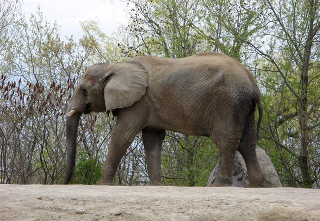 Former Toronto Zoo elephant Thika walks around its enclosure in this May 12, 2011 file photo.