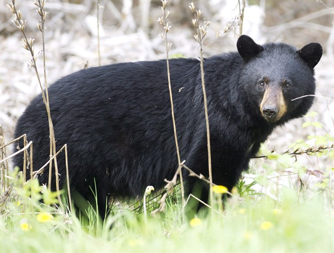 File - A black bear is pictured in a May 27, 2012 photo.