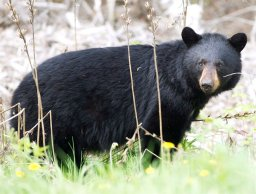 Continue reading: Bear with us: Why are Canadians so bad at tracking wildlife encounters?