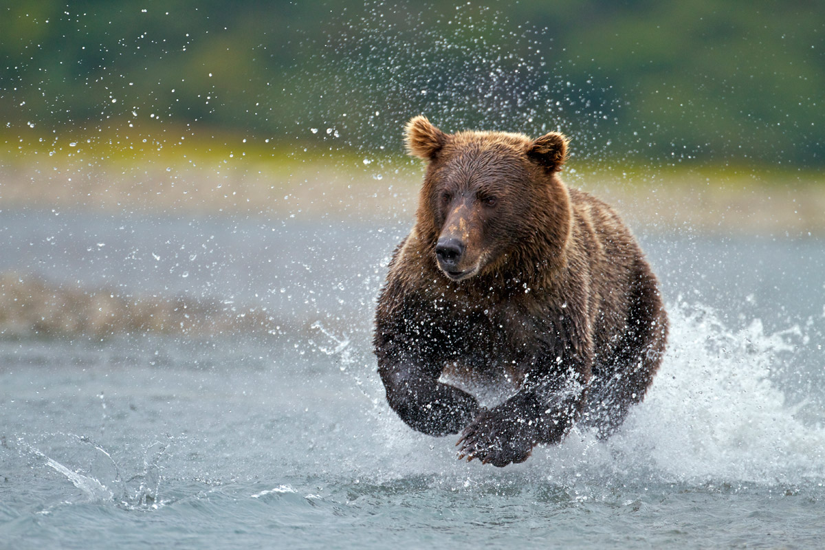 A brown bear is pictured at sunrise catching a salmon at Mount Kukak on August 28, 2011 in Katmai National Park, Alaska.