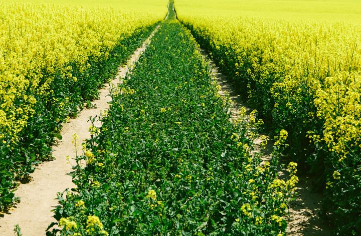 Saskatchewan farmers treated to some new mustard varieties at the Scott Research Farm field day.
