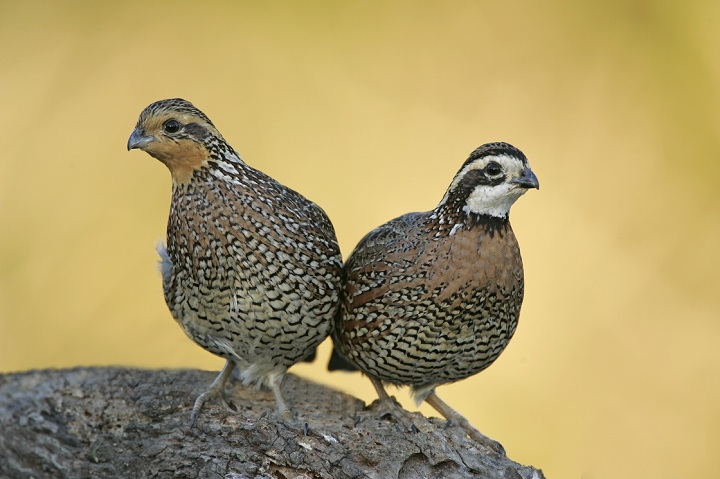 In Canada, the Northern Bobwhite is native to southern Ontario grasslands and savannahs and it is generally believed that only natural population is on Walpole Island near Windsor, ON and perhaps the adjacent mainland. The small grouse was listed as endangered in 1994 by the Committee on the Status of Endangered Wildlife in Canada and reaffirmed in 2003. According to Birdlife, over 20 million were recently being killed annually by hunters. Other major threats such as pesticides, herbicides, forestry and lack of prescribed fires continue to deplete Northern Bobwhite populations.