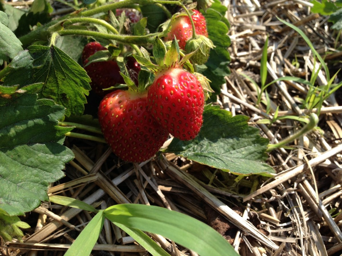 Strawberries are an easy-to-grow alternative to turf in problem areas like around trees, pathways and slopes.