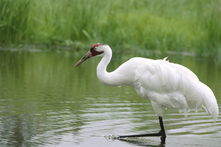 Although believed to be a naturally rare species, the Whooping Crane was designated as endangered by COSEWIC in 1978 because of its rapid decline in the early 20th century.