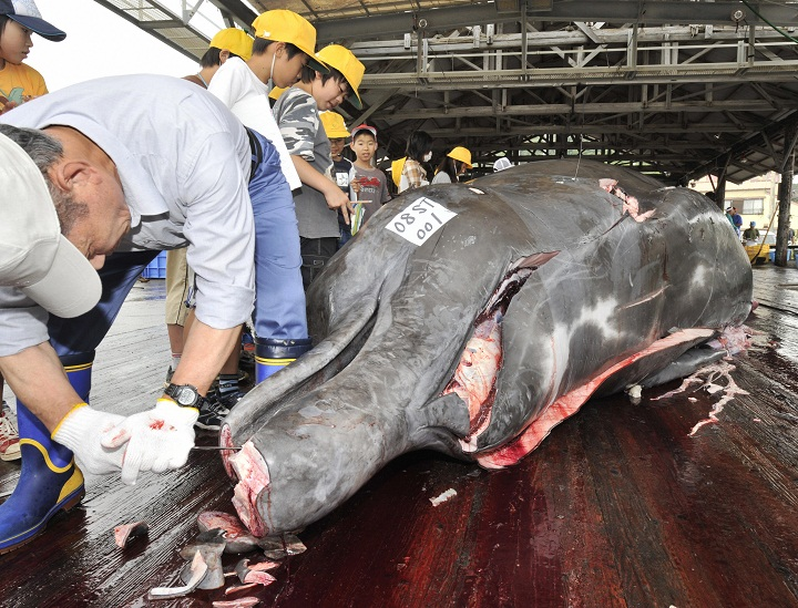 Fishermen slaughter a 10m-long bottlenose whale at the Wada port in Minami-Boso city, Chiba prefecture, east of Tokyo June 25, 2008 for the first whale hunt in this region. Wada does not take part in 'research' catches but instead is one of four Japanese towns that openly kill whales for commercial sale, a practice allowed as the species they target are not protected by the IWC.