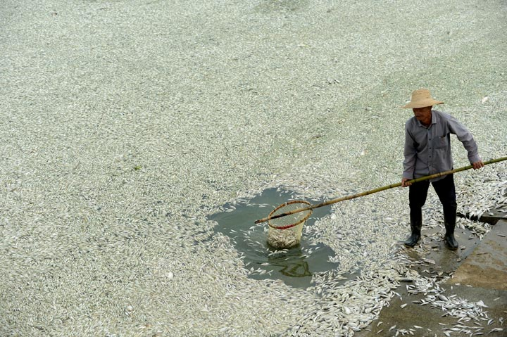 A resident clears dead fish from the Fuhe river in Wuhan, in central China's Hubei province on September 3, 2013 after large amounts of dead fish began to be surface early the day before.