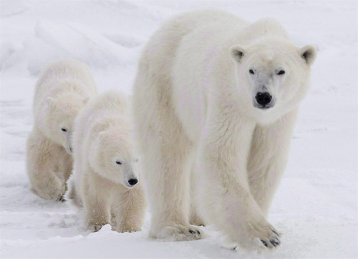 A polar bear mother and her two cubs walk along the shore of Hudson Bay near Churchill in 2007.
