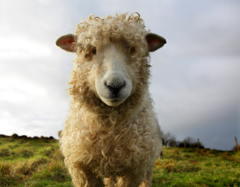 FILE: A sheep is pictured in a field. A spooked sheep caused a brief stir in Halifax's west end Friday.