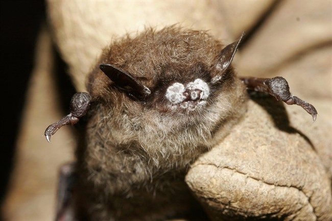 An October 2008 file photo provided by the New York Department of Environmental Conservation shows a little brown bat suffering from white-nose syndrome.