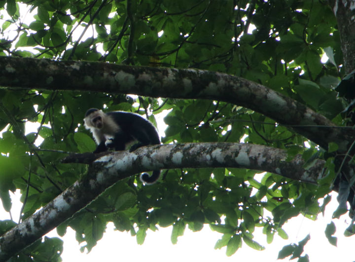 Getting an up close and personal look at wildlife is a common occurrence for  Costa Ricans who live so in tune with nature they see any threat to their wilderness as a personal insult and perhaps even a global menace.
