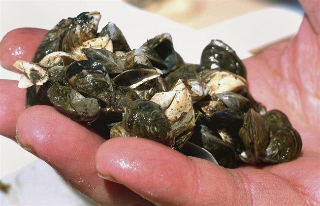 A cluster of zebra mussels that were taken from Lake Michigan in 2007.