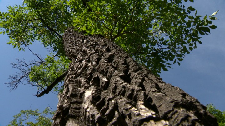 The province of Saskatchewan says that Dutch elm disease (DED) is being held at bay in Saskatchewan, even though the number of diseased trees is up.