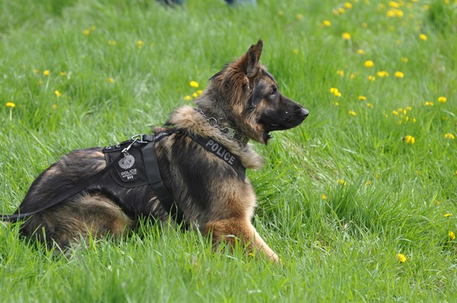 Quanto the police dog is shown in an Edmonton Police Service handout photo. Quanto has died after being slashed while helping to capture a suspect involved in a pursuit.