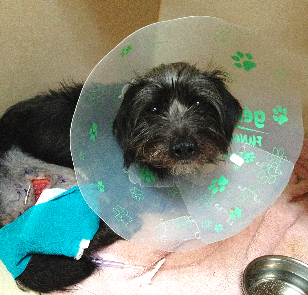 Harold is a year-and-a-half old dachshund mix. He's been found injured and neglected on a rural road just outside Squamish.