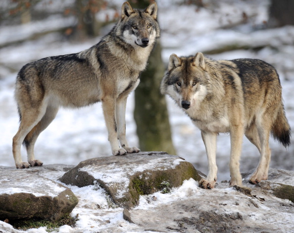 Wolves, file photo.