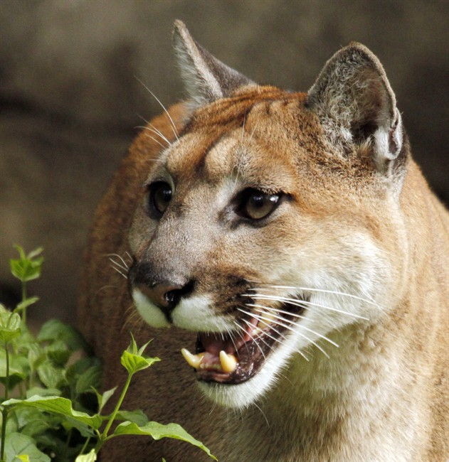 FILE: A cougar is pictured in Portland, Ore., Sept. 8, 2010.