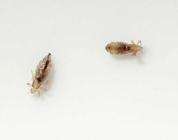 Two head lice (Pediculus humanus capitis) crawl on a piece of paper.