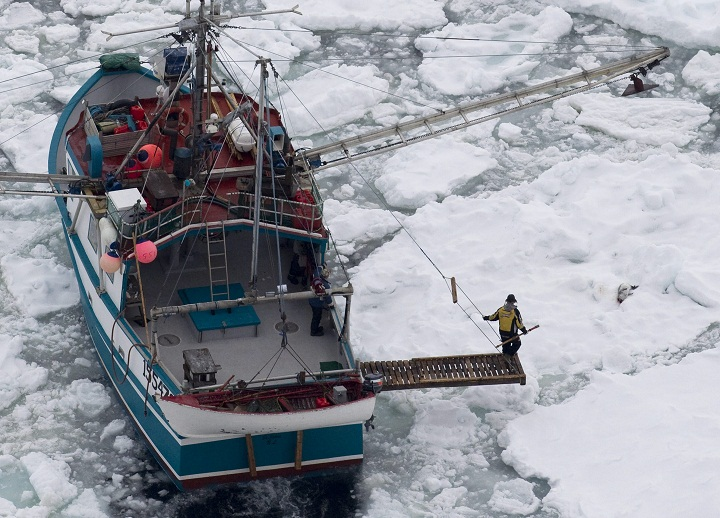 A sealer collecting a young Harp Seal back after it has been shot in an image taken by The International Fund for Animal Welfare (IFAW) Annual commercial harp seal hunt in the Northern Gulf of St Lawrence, Canada - 10 Apr 2012 Poor ice conditions has meant a reduced number of seals in the area this year.