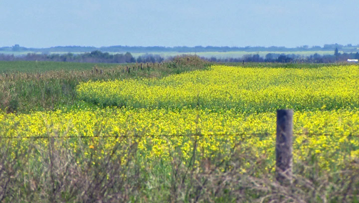Record canola crop for Saskatchewan in 2013; Alberta sets new record for wheat production.