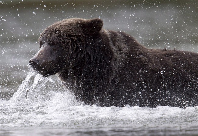A grizzly bear fishes along a river in Tweedsmuir Provincial Park near Bella Coola, B.C.