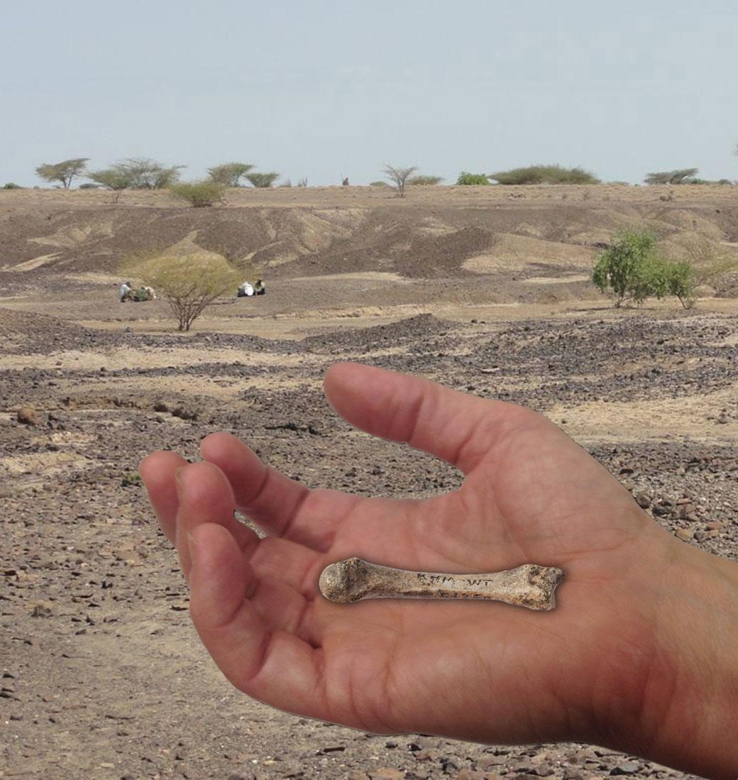 Discovery of 1.4 million-year-old bone a piece of evolutionary puzzle