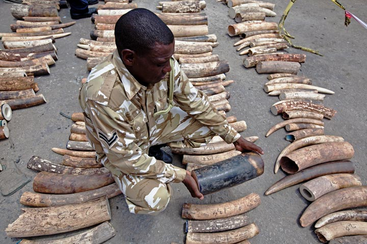 A Kenya Wildlife Service (KWS) Ranger inspects a confiscated ivory consignment at the Mombasa Port on October 8, 2013.