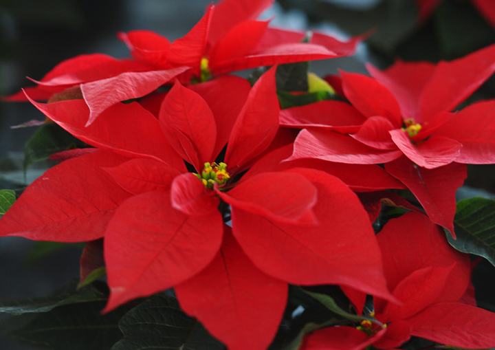 Poinsettia plants are common over the Christmas holiday season.