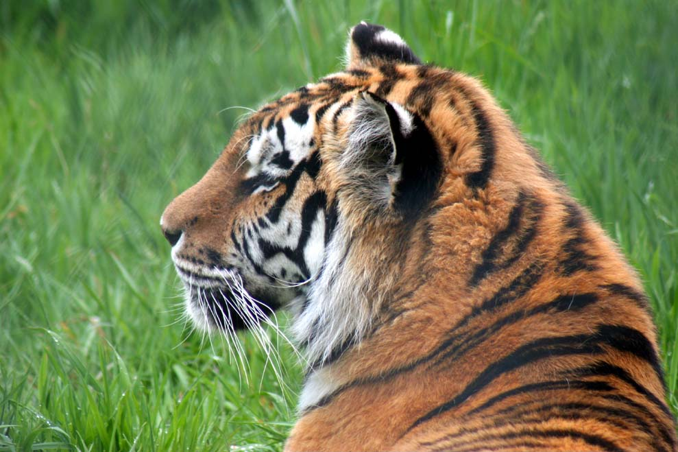 Sweetie the Siberian Tiger had to be put down due to ongoing health issues.