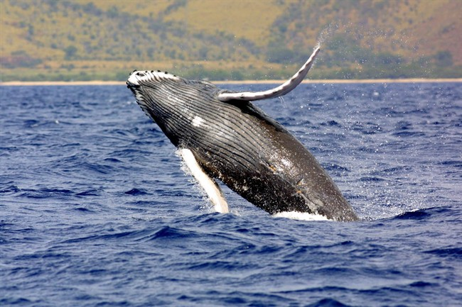 A humpback whale jumps out of the waters off Hawaii in this undated photo.