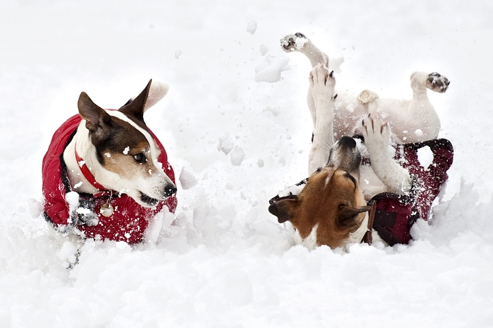 Dogs play in the snow on the Sandringham estate in Norfolk on February 5, 2012.
