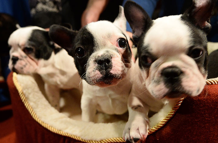 This picture of French Bulldog puppies might give you a good idea as to why the breed is gaining in popularity.