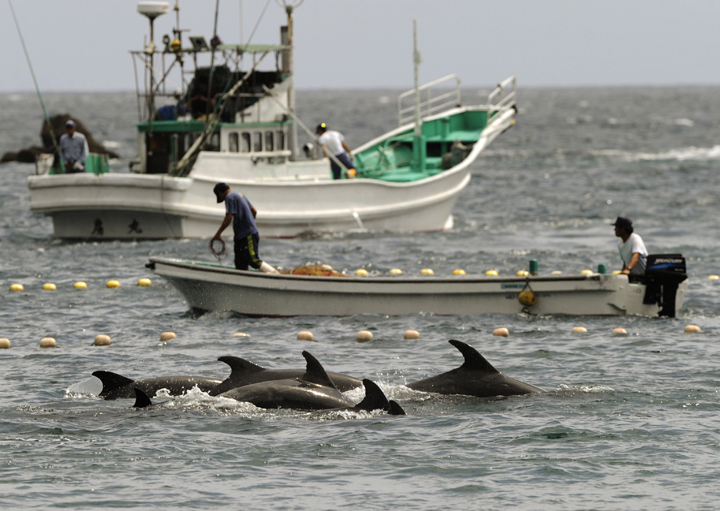 In this Sept. 2, 2010 file photo, fishermen drive bottle-nose dolphins into a net during their annual hunt off Taiji, Wakayama Prefecture, western Japan. A Japanese government spokesman defended an annual dolphin hunt Monday, Jan. 20, 2014, two days after U.S. Ambassador to Japan Caroline Kennedy tweeted tweeted that she was deeply concerned by the inhumanity of the practice.