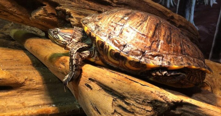 Reptile Rescue Centre Forced To Euthanize Some Turtles Due To Overcrowding Bc Globalnews Ca
