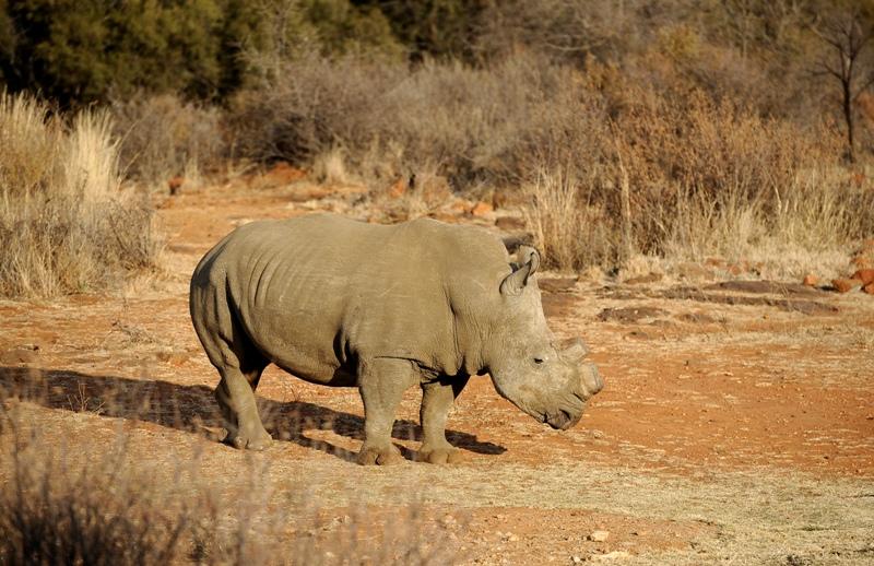 A black dehorned rhinoceros walks on August 3, 2012 at the Bona Bona Game Reseve, 200 kms southeast of Johannesburg.