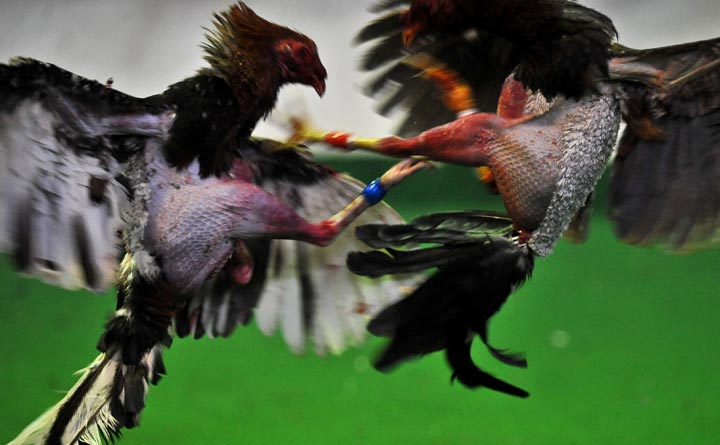 11 men charged after alleged cock-fighting operation dismantled in Ontario - image