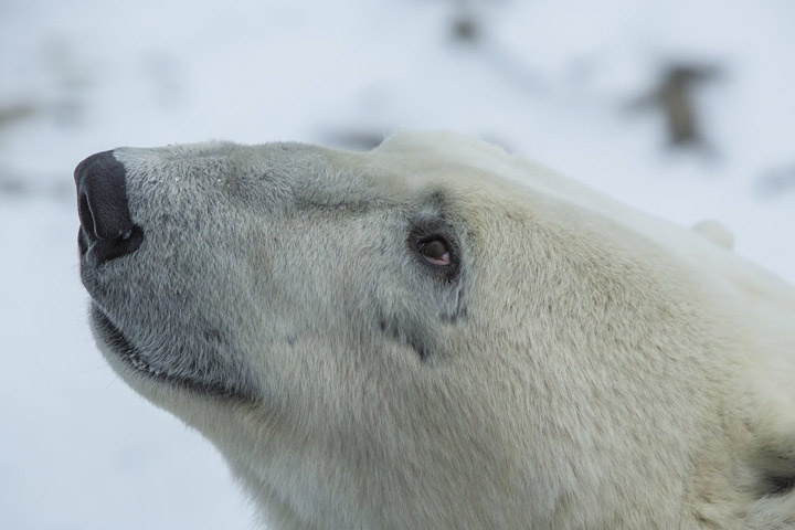 A close up of a wild polar bear.