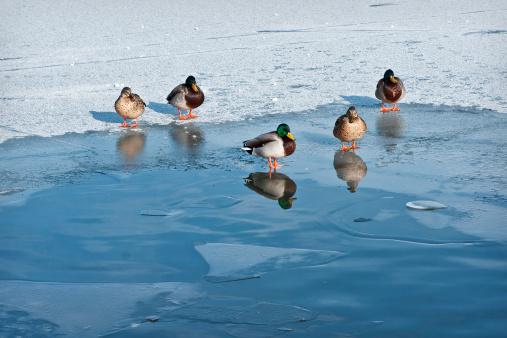 File photo of ducks on the ice.