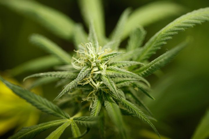 File photo of marijuana.