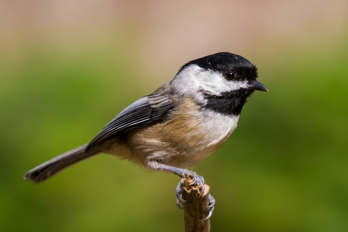 The cute Black-Capped Chickadee is a can-do bird who loves to explore and is always the first to find a feeder in the area. It's a social, popular bird who lives in the forest, hides food to eat later, and has a well-known whistled song.